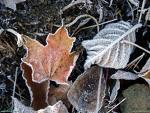 frosty-leaves.jpg