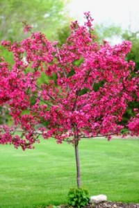 pink flowering tree of some sort??