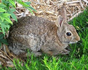 432-garden-bunny