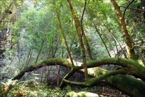muir-woods-mossy-ferns