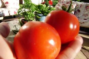 tomato-day-7-15-082