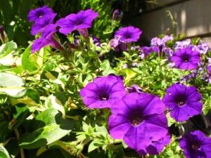 purple-petunias