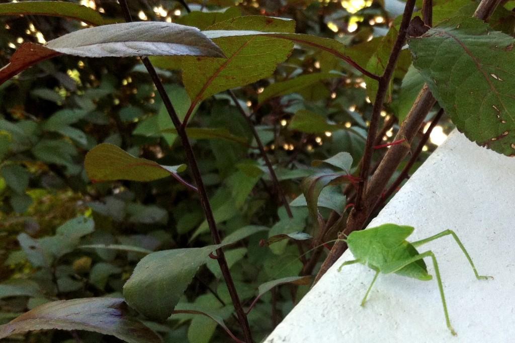 katydid release