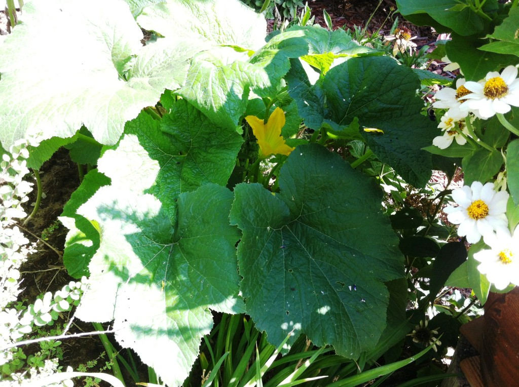 zucchini, deeply rooted