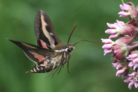 7-24-10-gallium-sphinx-moth-img_2987