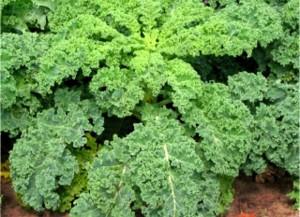 kale late july kale