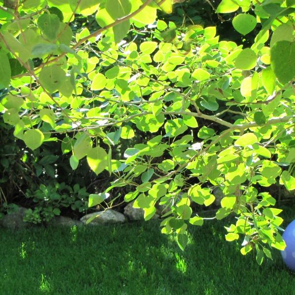 holy wild aspen leaves