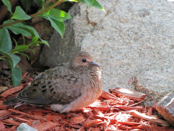 holy wild mourning dove 2