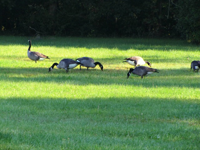 #SeptemberMorn #NWIndiana geese and mom 2