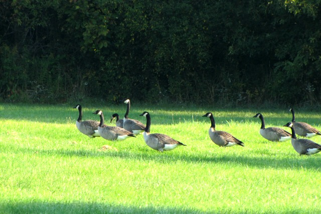 #SeptemberMorn #NWIndiana geese and mom 3