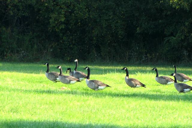 #SeptemberMorn #NWIndiana geese and mom 3