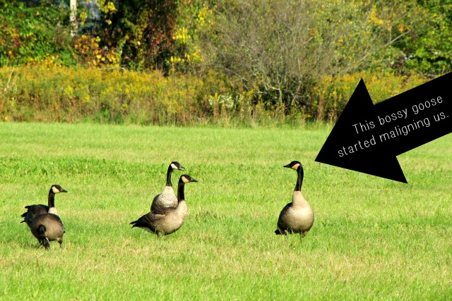 geese bossy #septembermorn #nwindiana