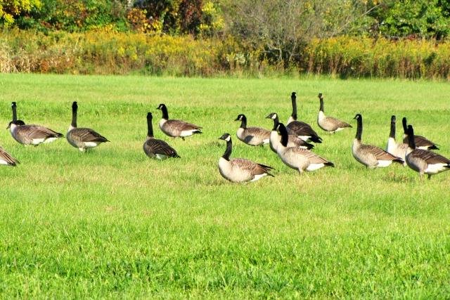 geese #septembermorn #nwindiana