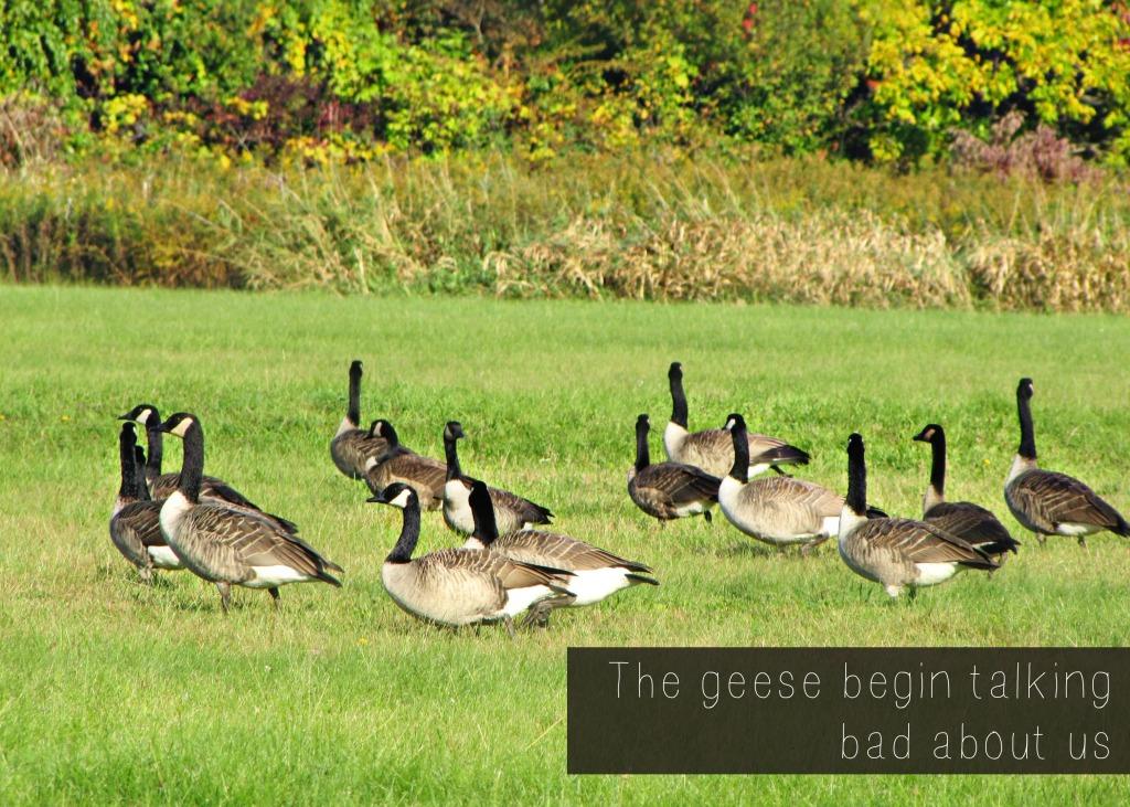 geese talking #septembermorn #nwindiana