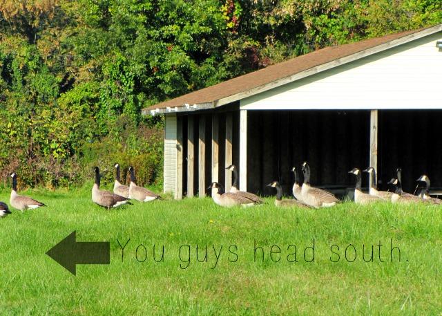 september morn south geese