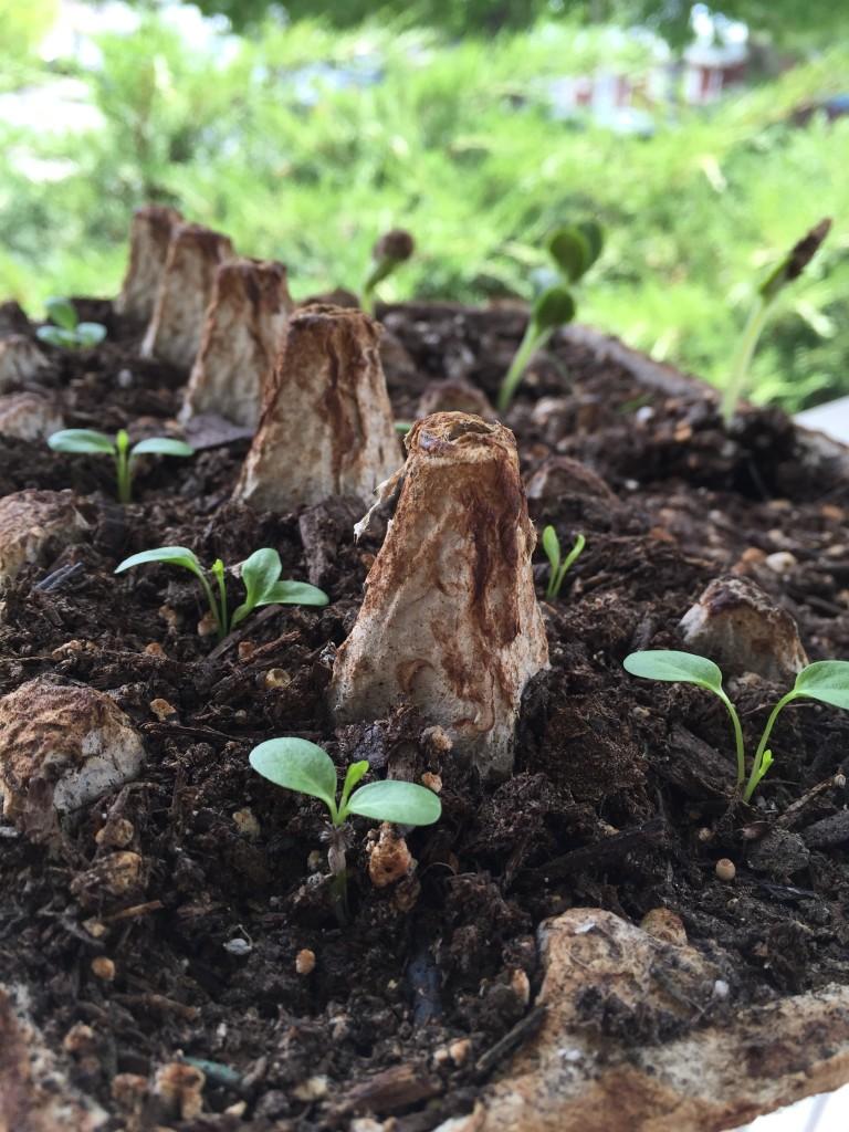 seedlings in egg-carton