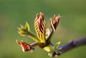 805_28_5451-tree-bud-opening_web
