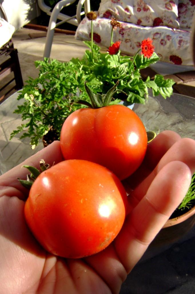 tomato-day-7-15-083