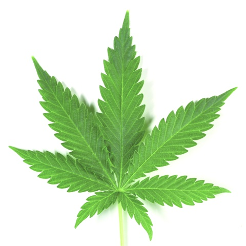 marijuana leaf detail