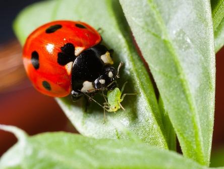 ladybug eats aphid oh yes!