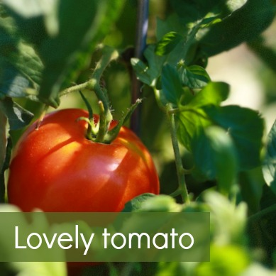 lovely tomato