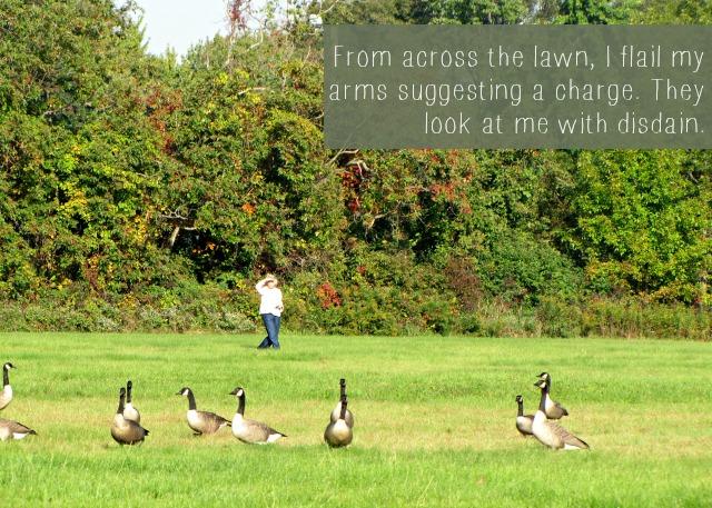 geese disdain